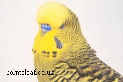 budgerigar picture